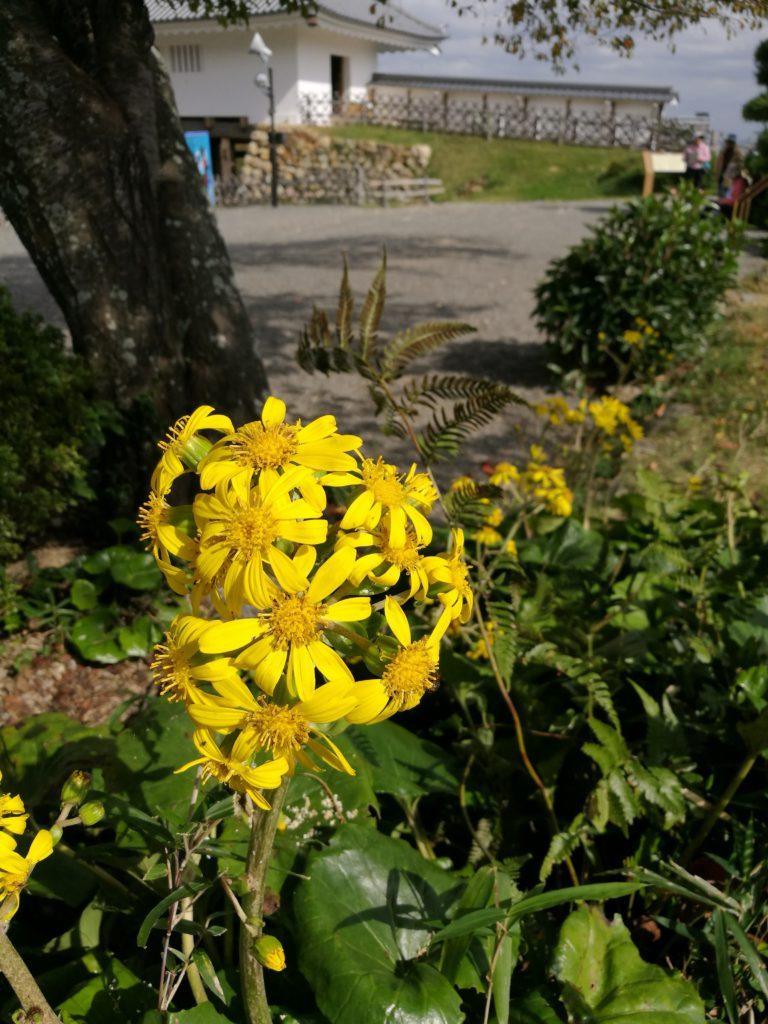 石蕗の花、つわぶき