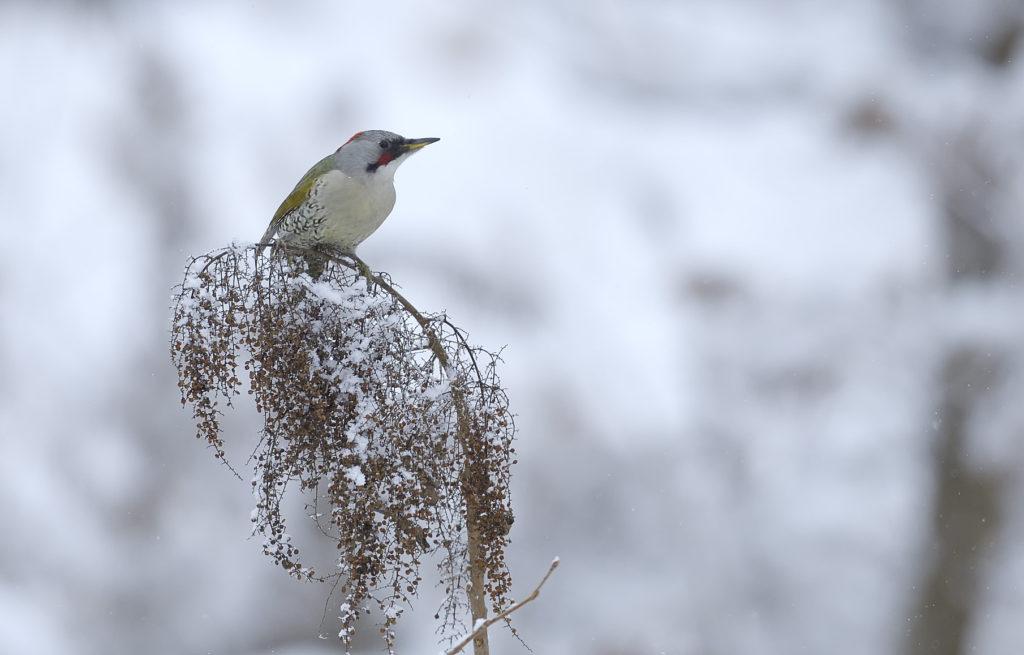 アオゲラ-緑啄木鳥
