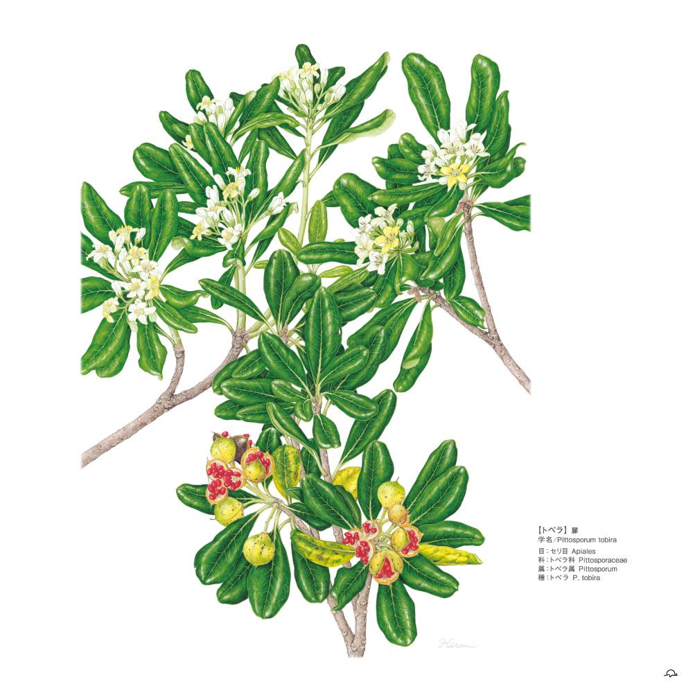 鳥居ひろみボタニカルアート─町角の植物図鑑トベラ