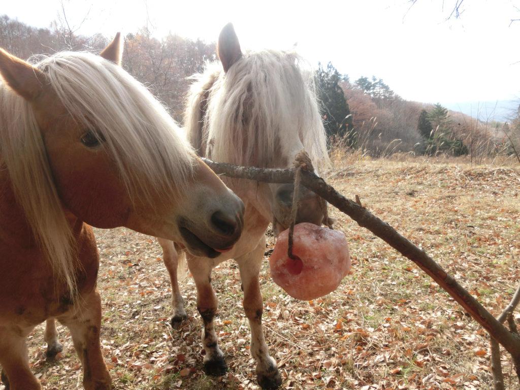 塩を舐める馬