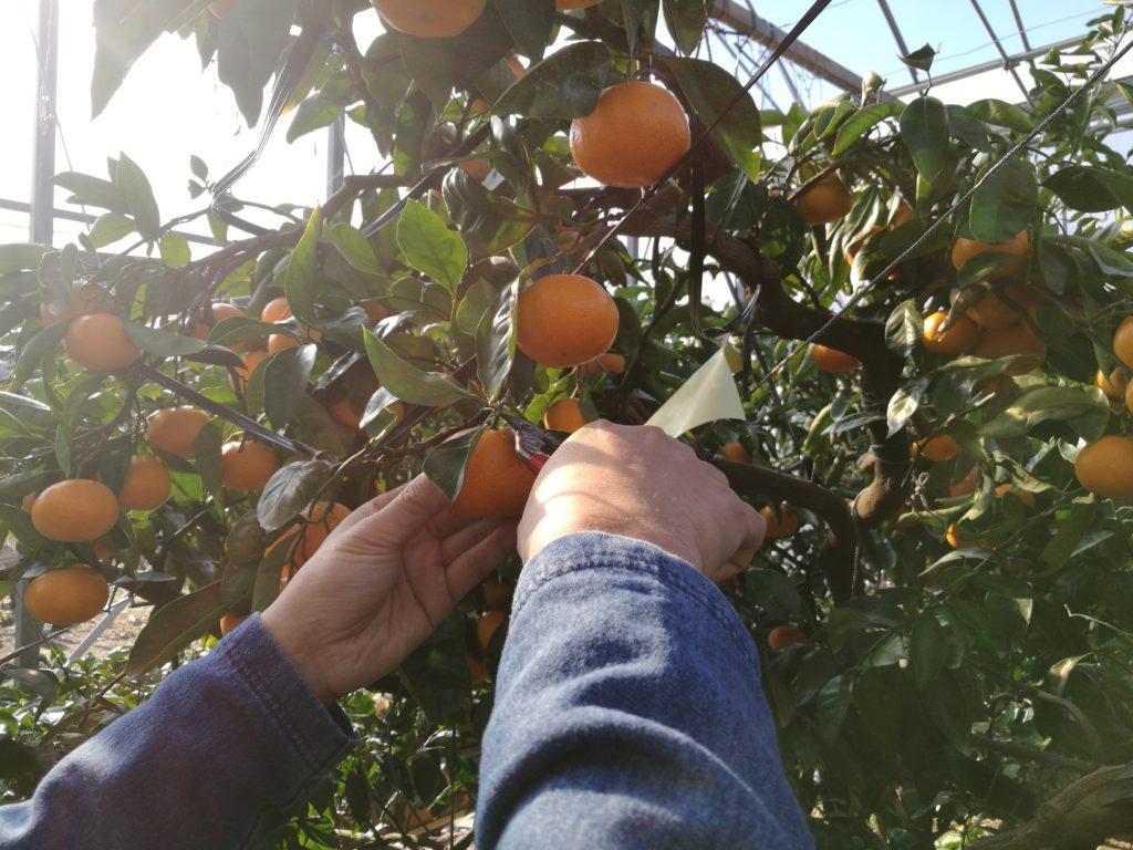 みかんの収穫