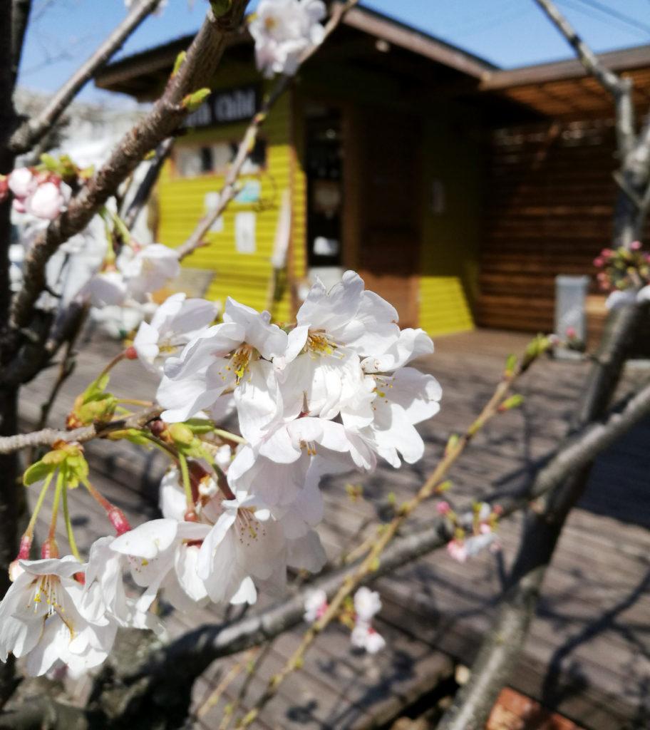 つはものの袖に触れ散る桜かな