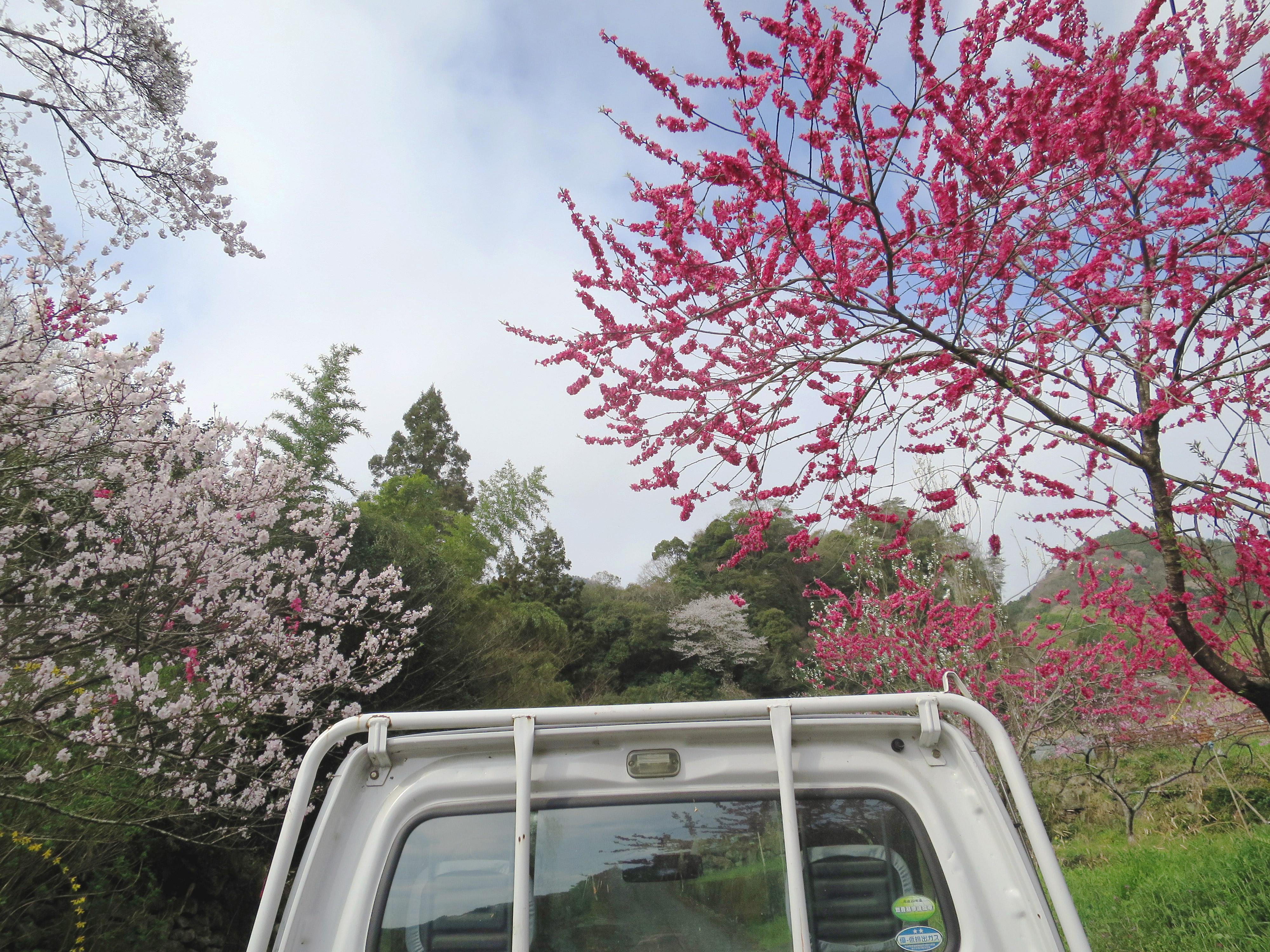 軽トラの荷台から春の野の景色桃梅紅梅桜