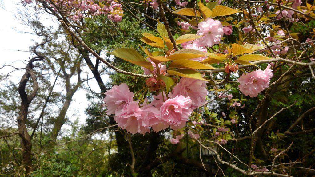 花は葉に。季語「葉桜」