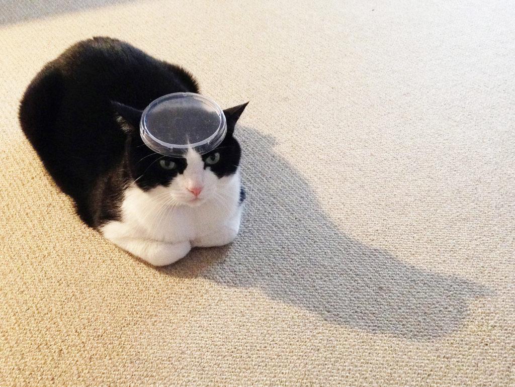 永田花ハチワレ猫cat頭に蓋をのせてる猫