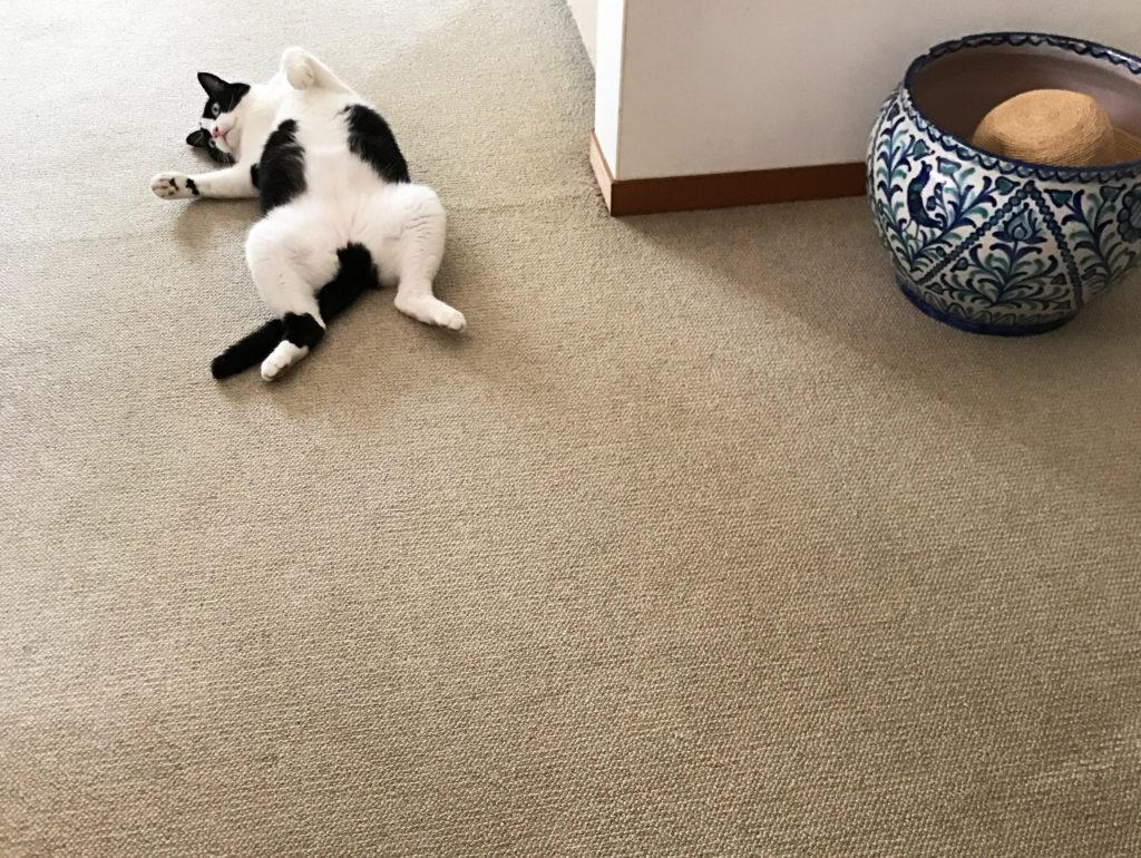 暑いからカーペットに転がるハチワレ猫