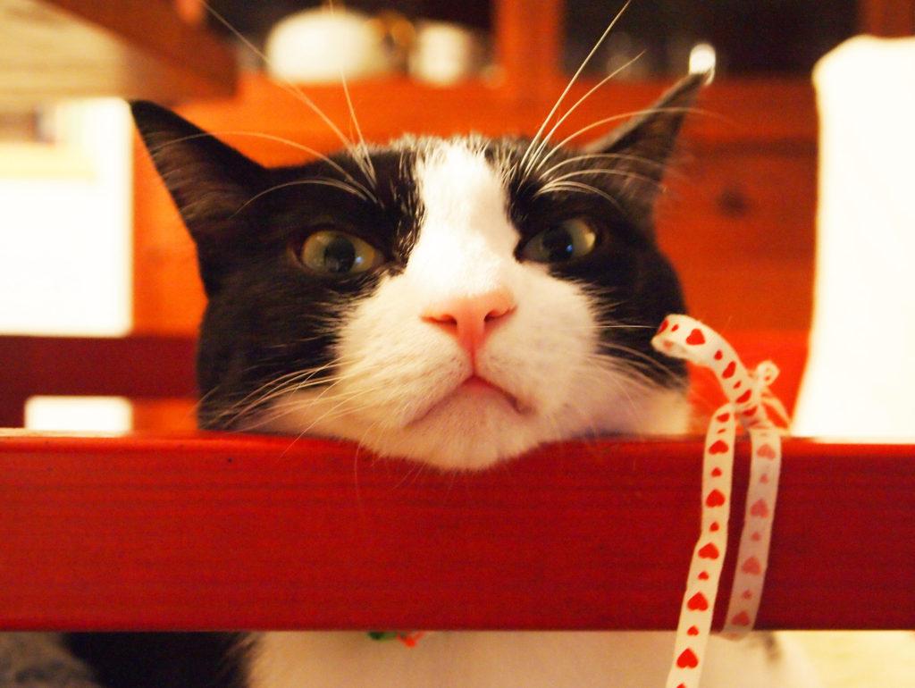 ハチワレ猫歌丸のトボケ顔