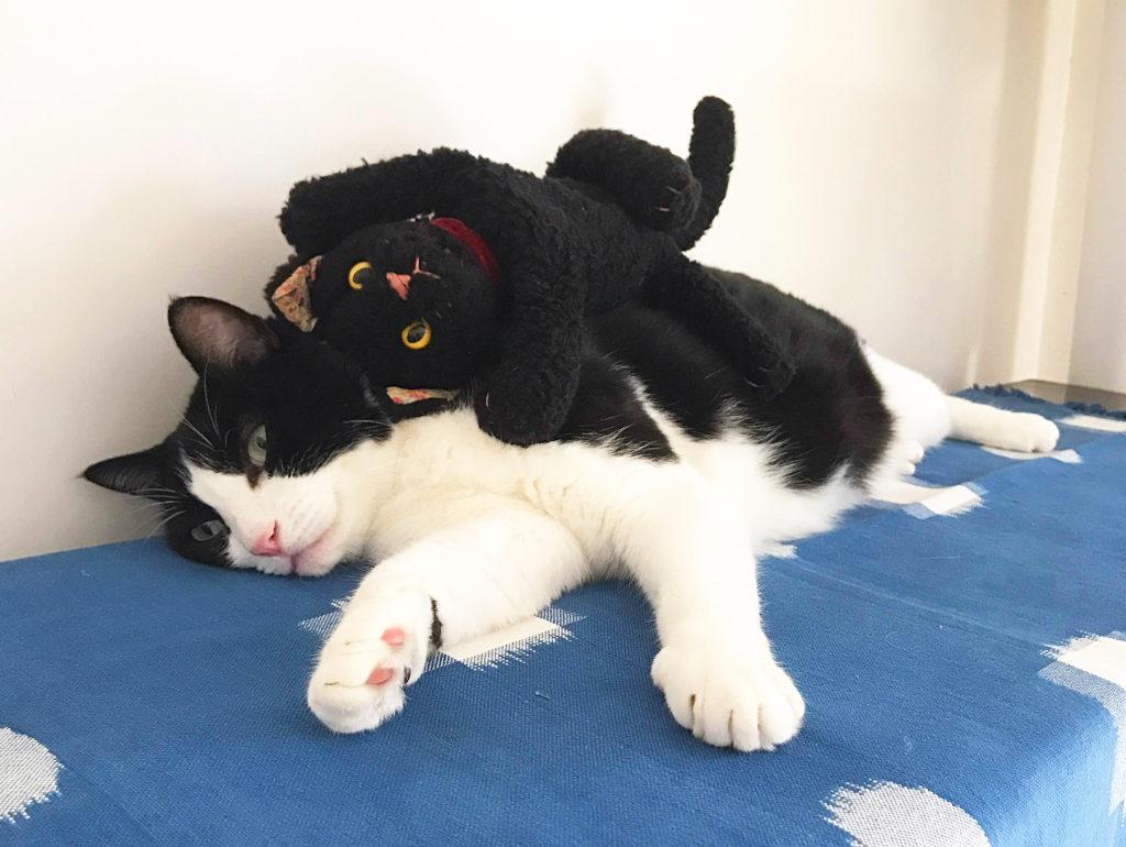 ぬいぐるみと遊ぶハチワレ猫