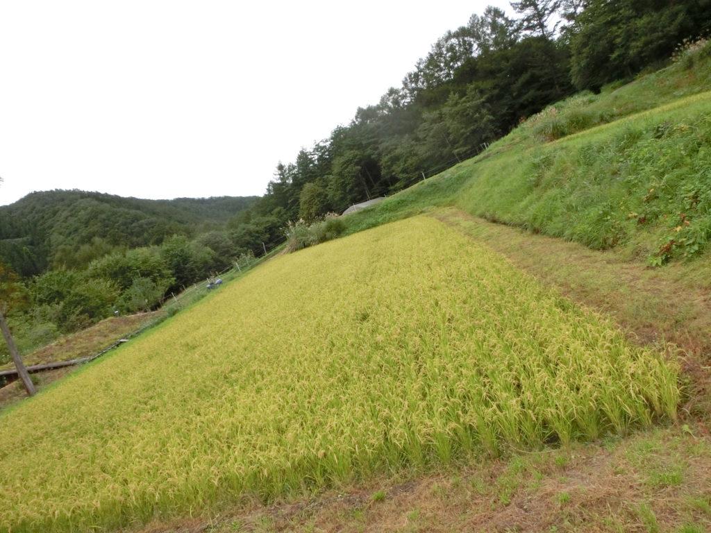 遠野の田んぼ