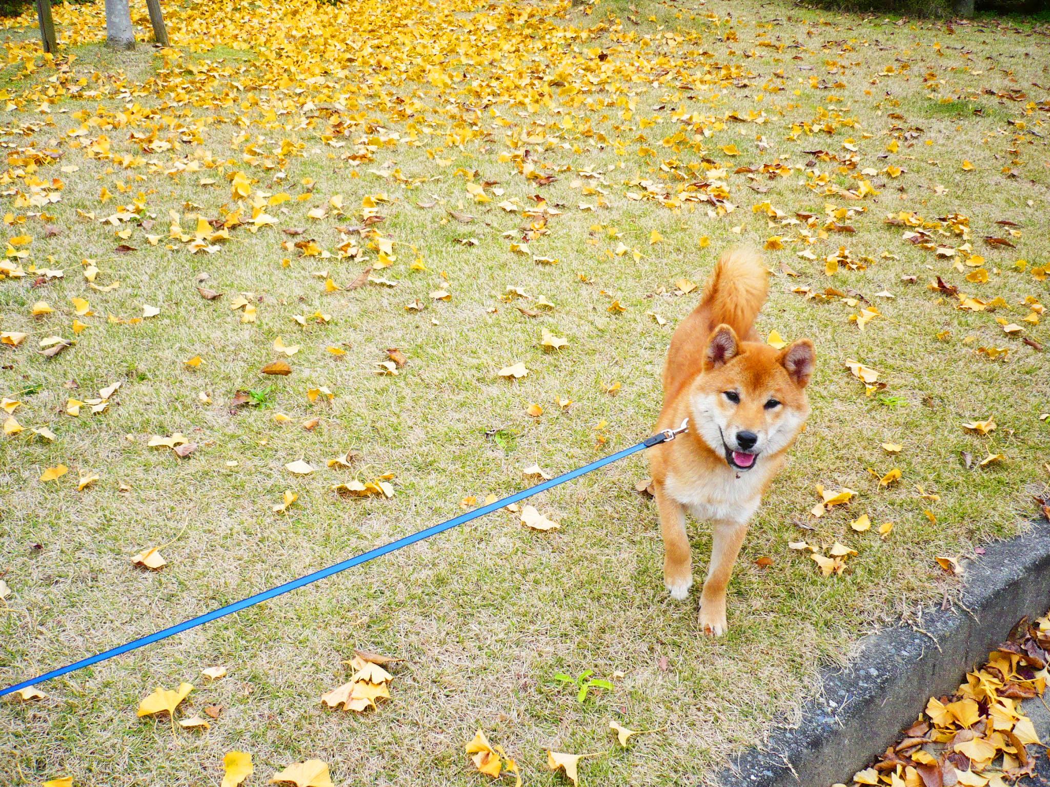芝犬とイチョウ