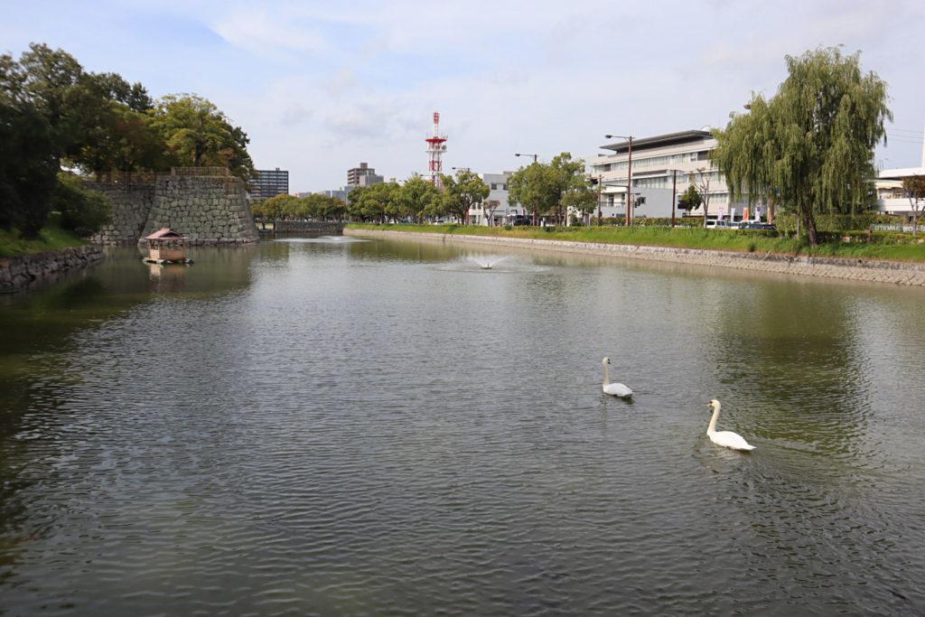 亀山公園のお堀でくつろぐ白鳥