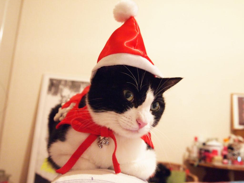 サンタクロースのコスプレを楽しむハチワレ猫