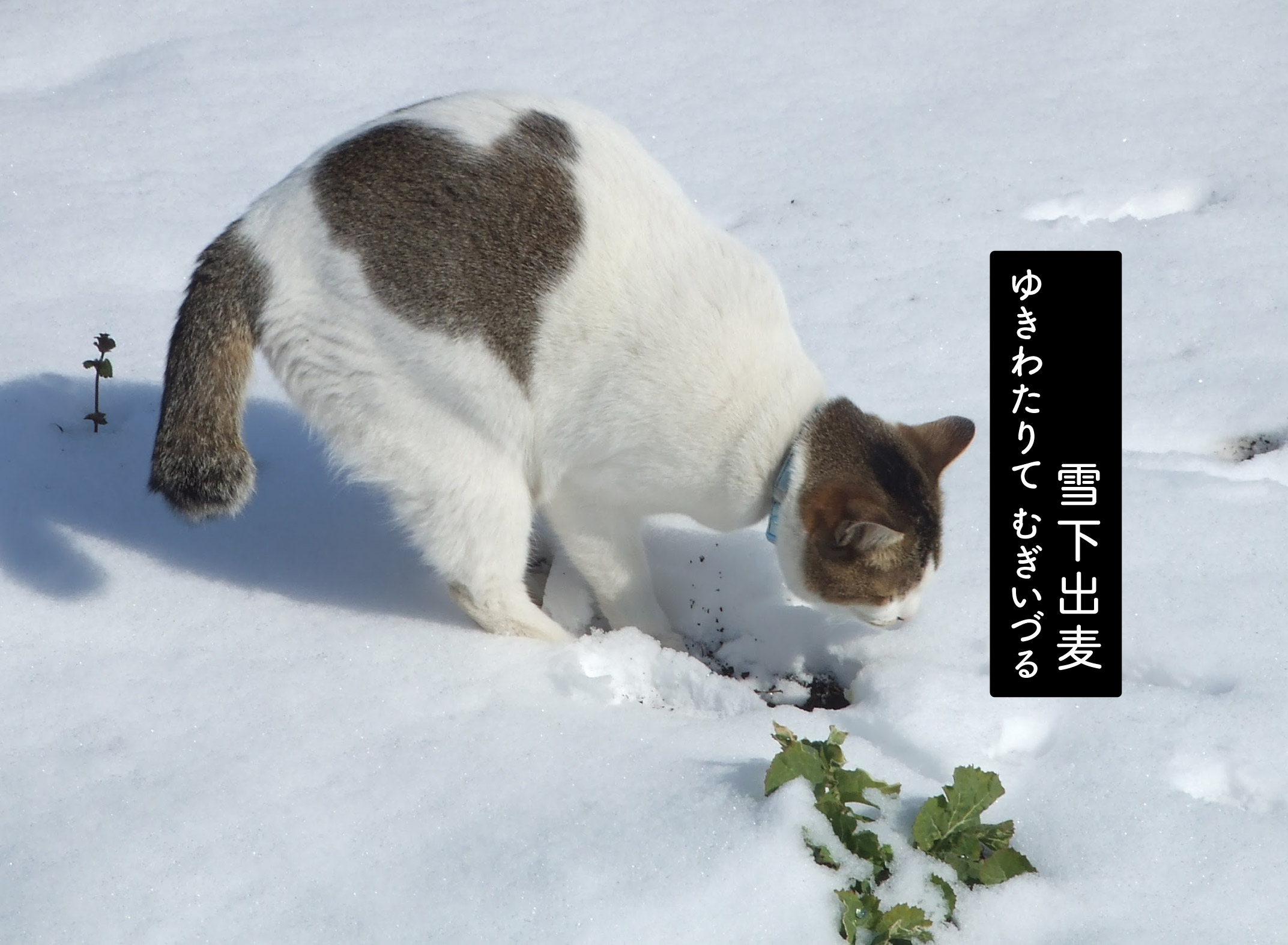 雪を掘る猫