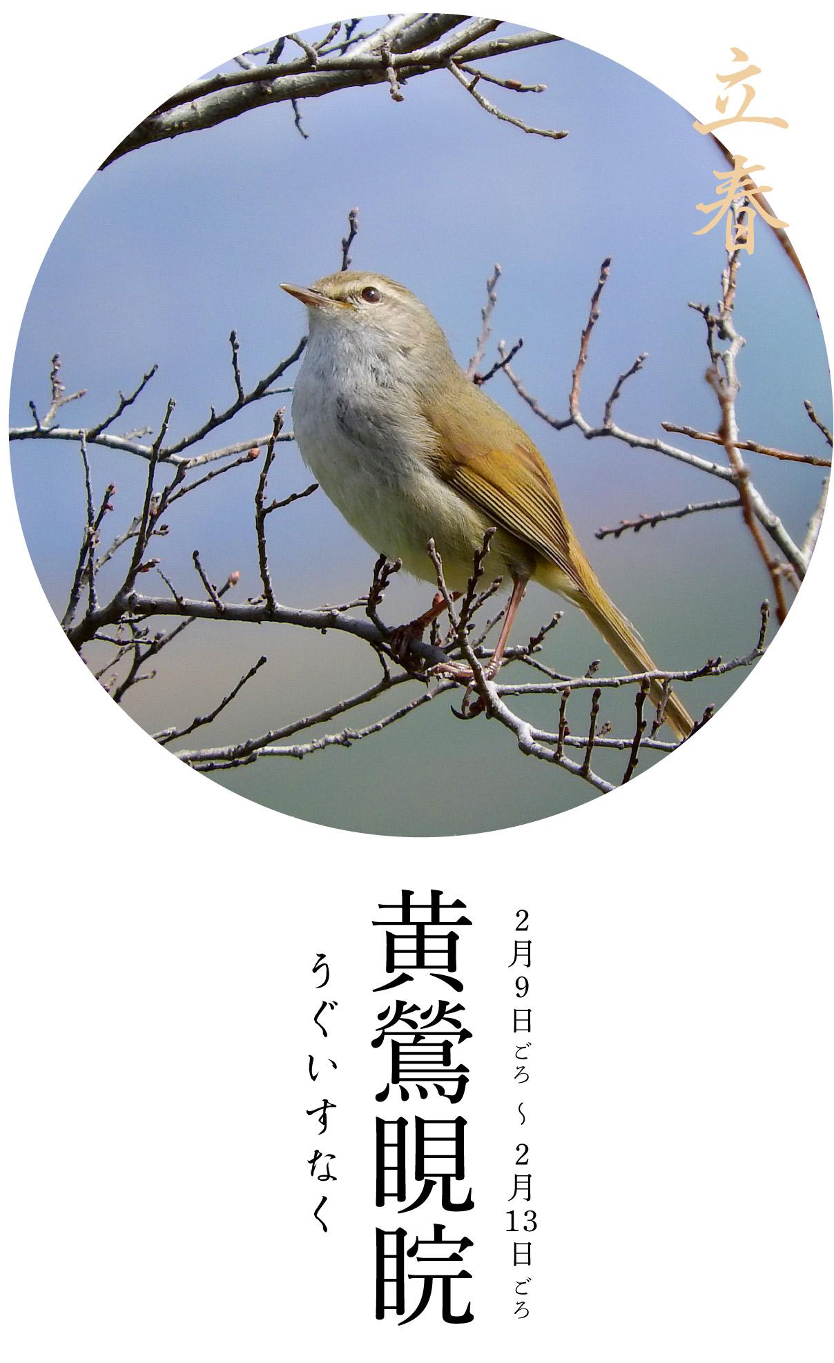 立春次候・黄鶯睍睆