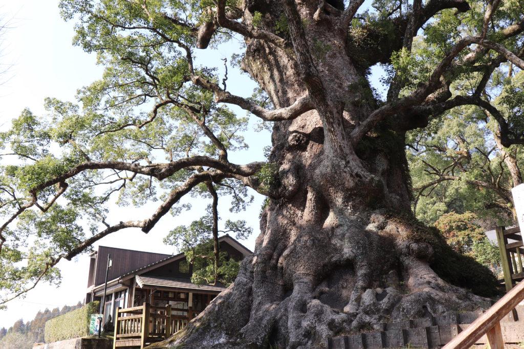 日本一の巨樹鹿児島県蒲生の大クス