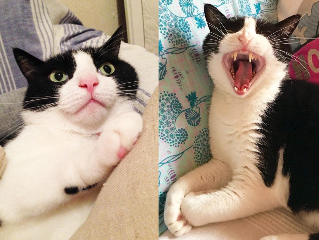 牙も可愛いハチワレ猫