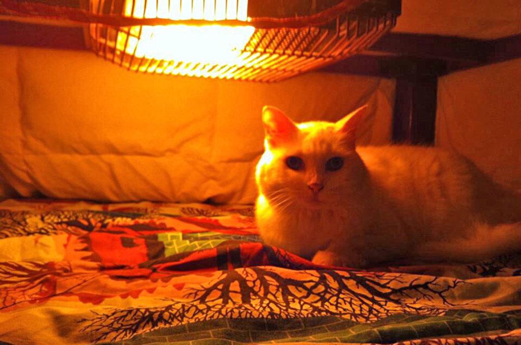 こたつで温まる猫