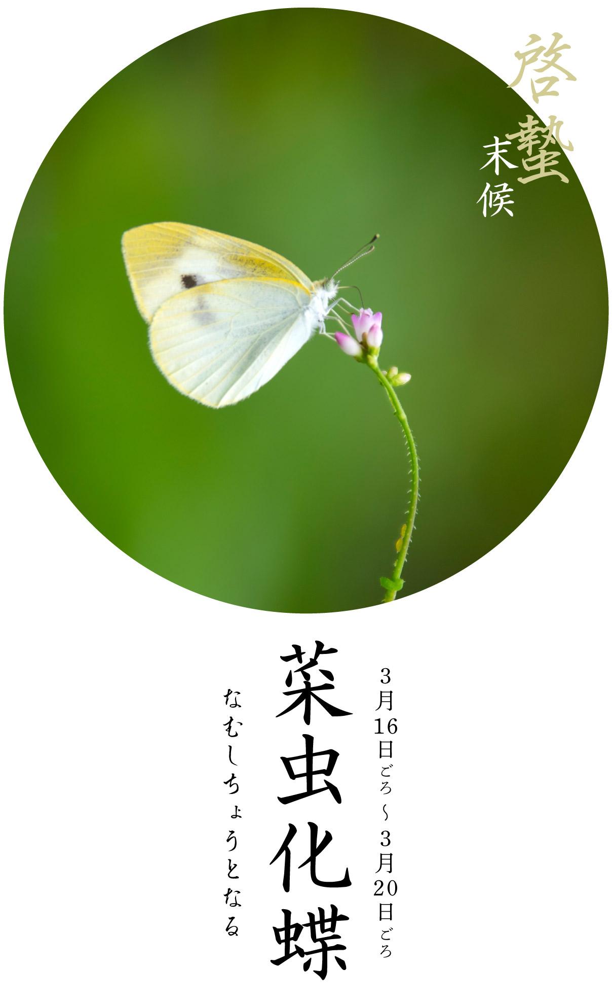 菜虫化蝶・なむしちょうとなる