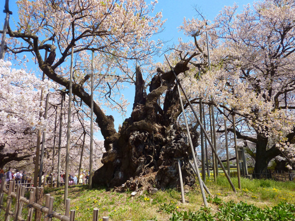 山梨県・武川の日本三大桜の一つ山高神代桜(エドヒガンザクラ)