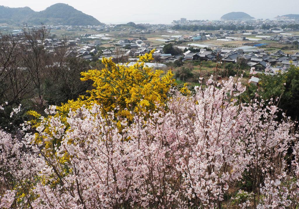 桜と三豊市の市の眺望