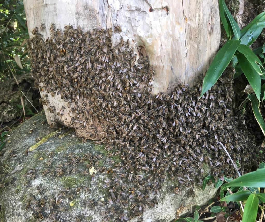 日本ミツバチの大軍