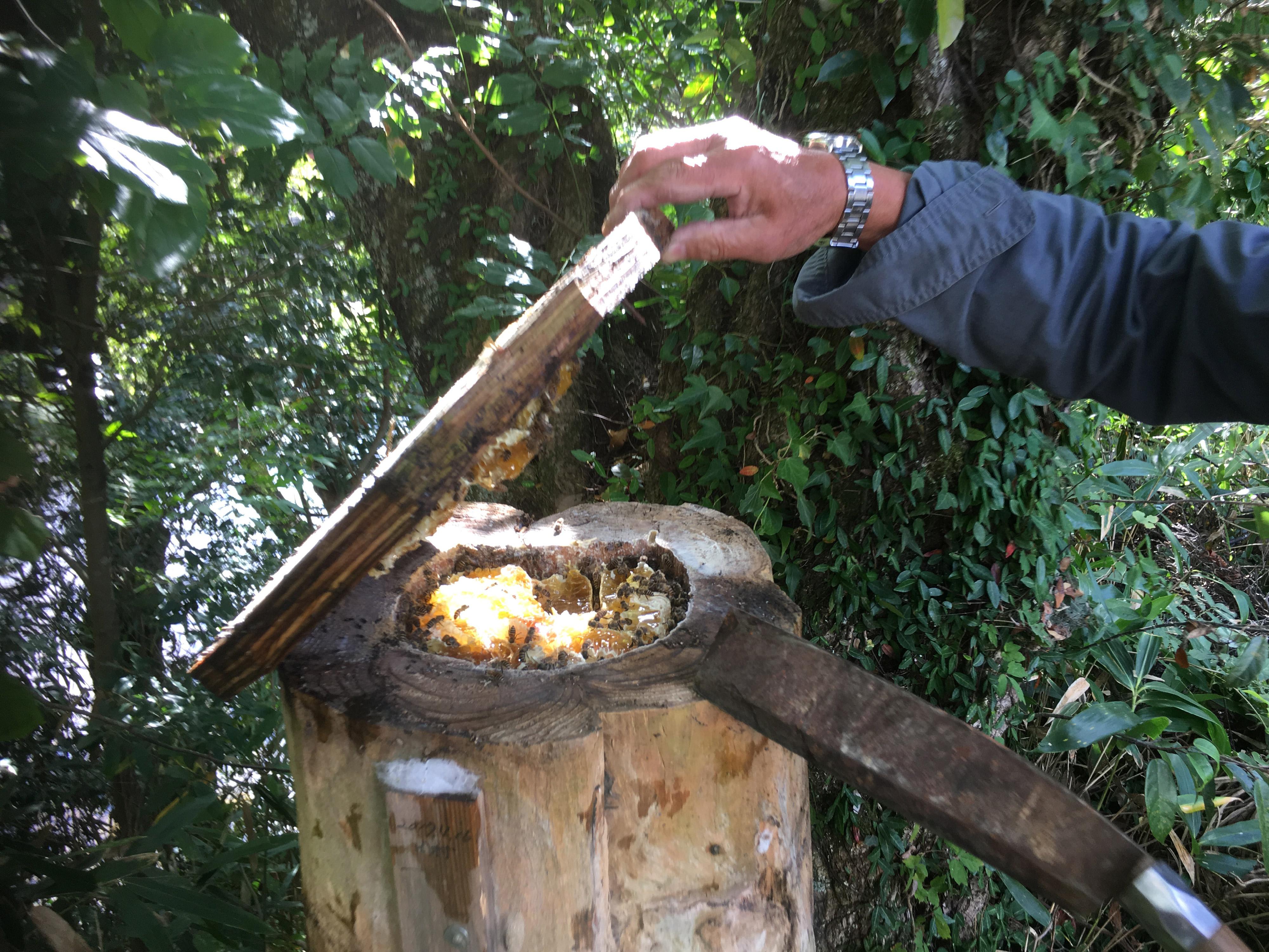 巣蜜がギッシリつまった丸洞タイプの日本ミツバチの巣