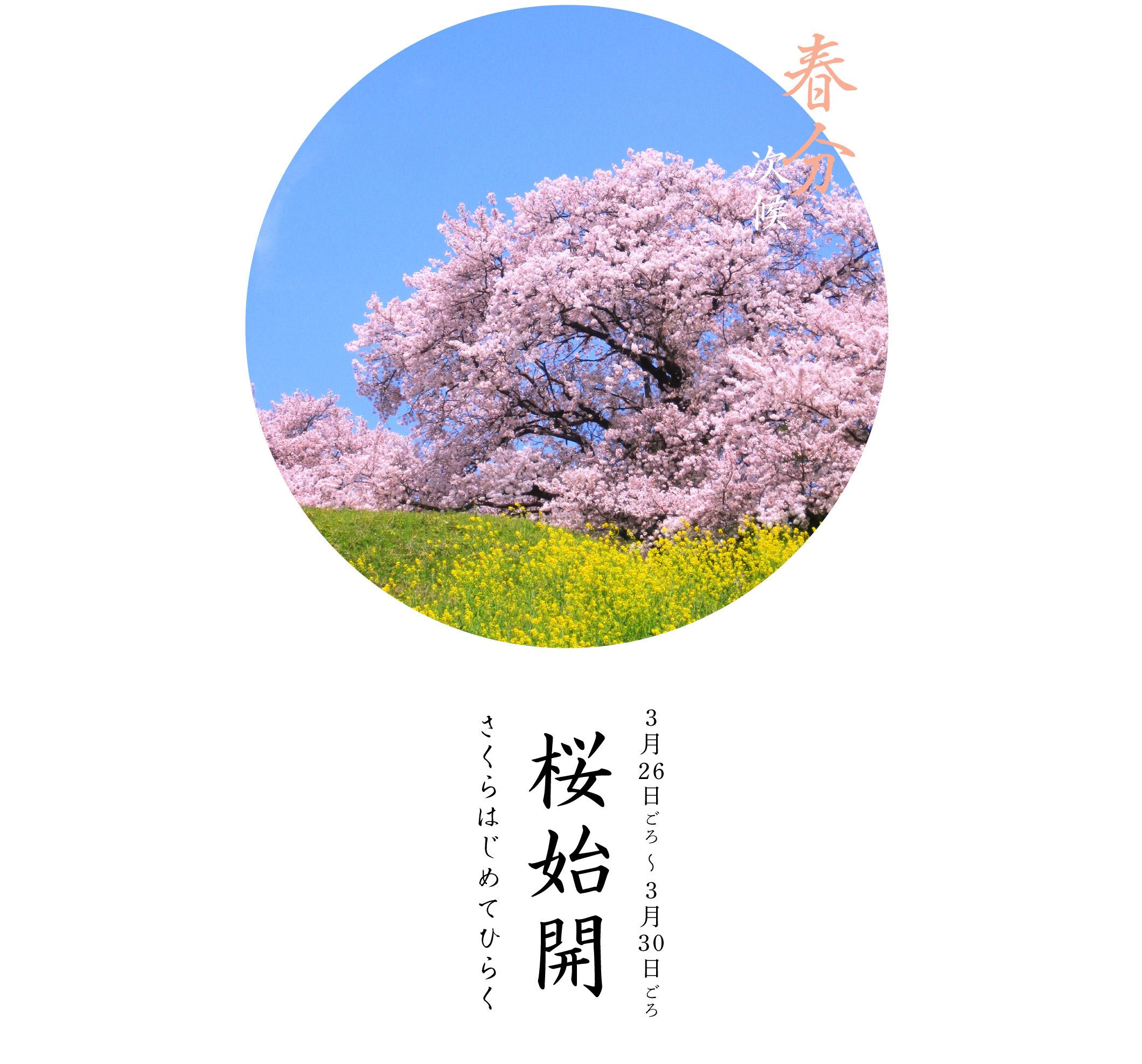 桜始開・さくらはじめてひらく