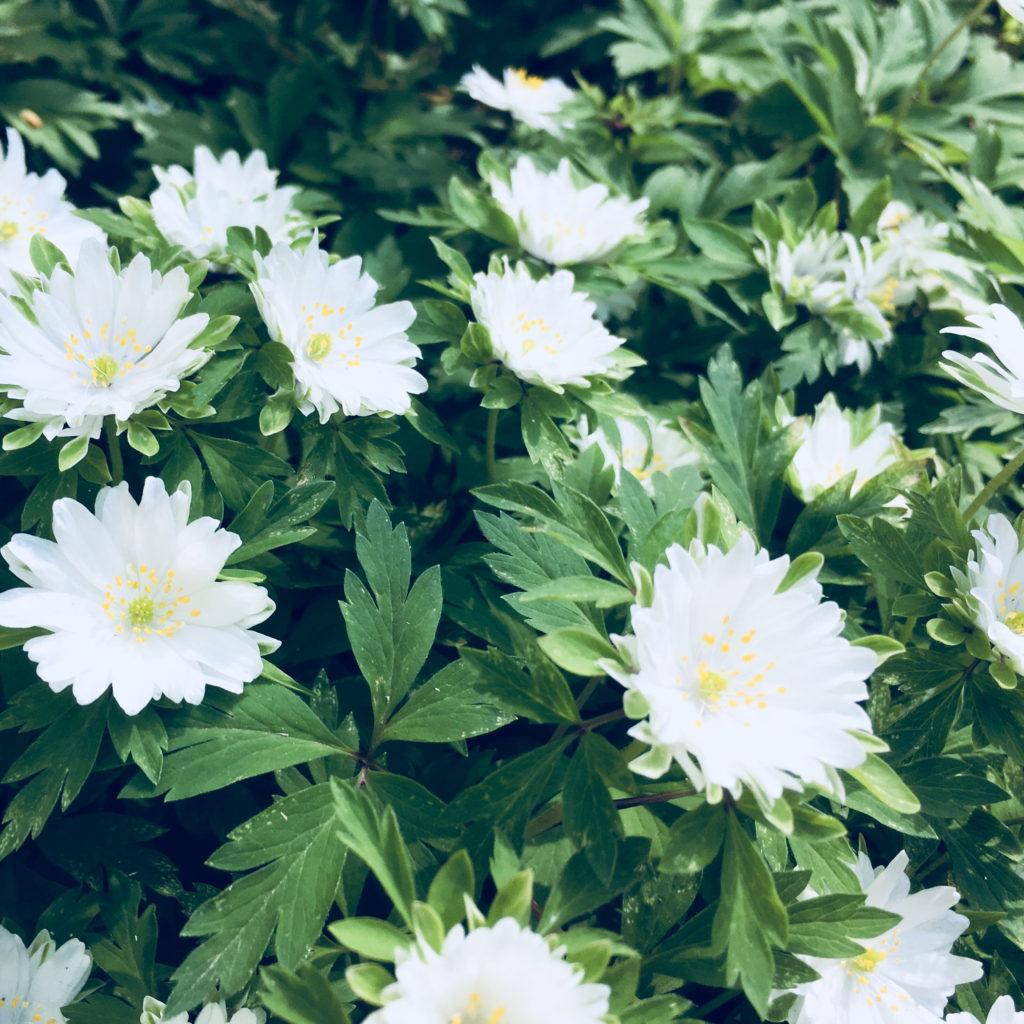 柿木村の白い山野草