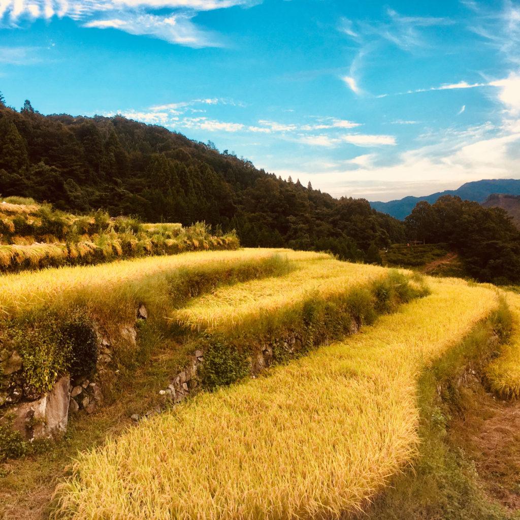 柿木村の収穫前の棚田