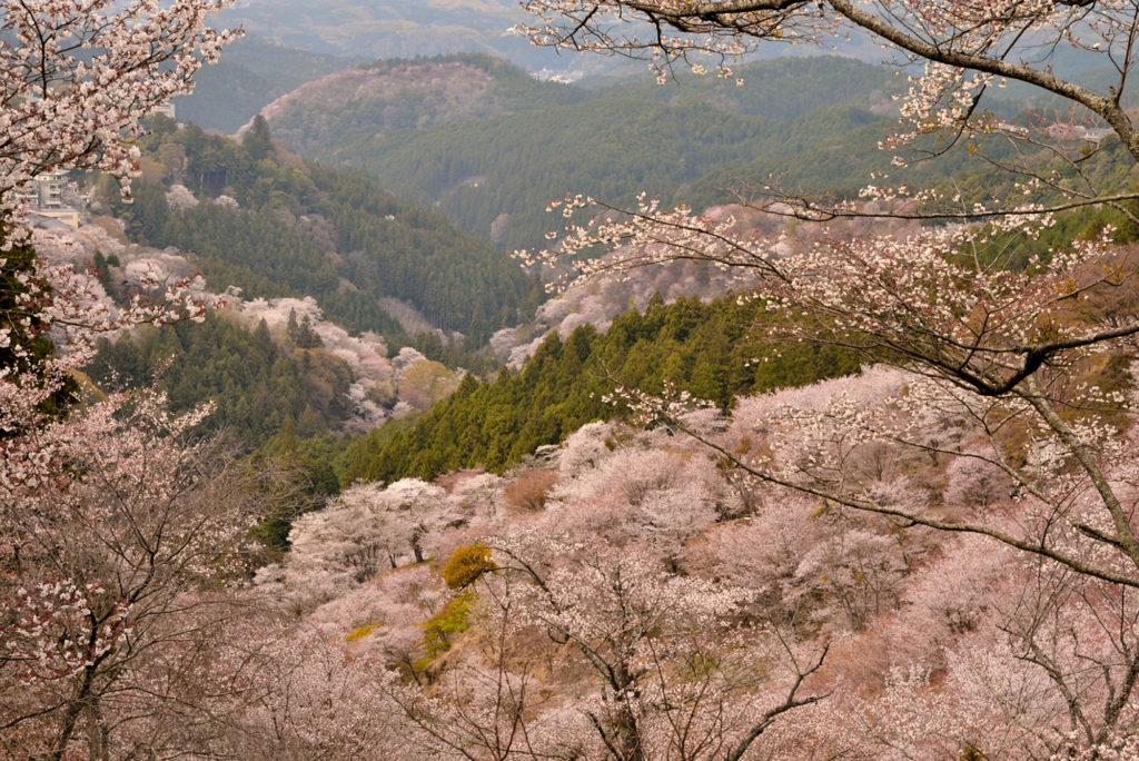 奈良県・吉野山の桜