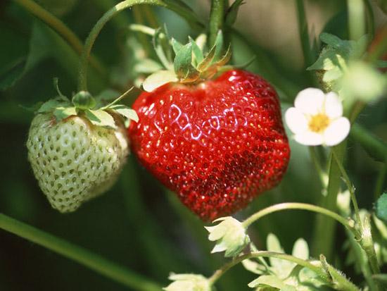 大きな苺がなった苗