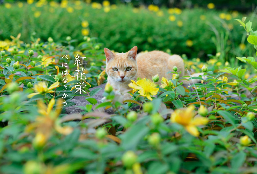 猫と紅花栄
