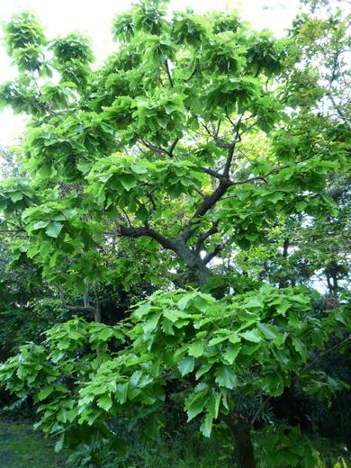 たくさん葉がついた柏の木