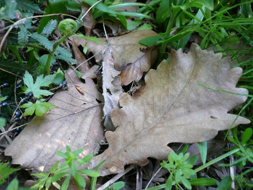 柏の枯れ葉