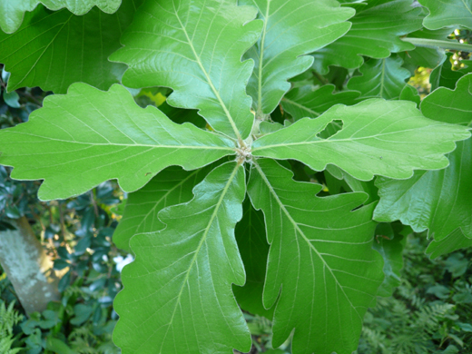 開いて付く柏の葉