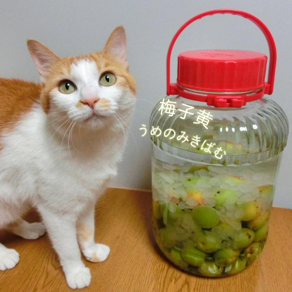 梅子黄と猫
