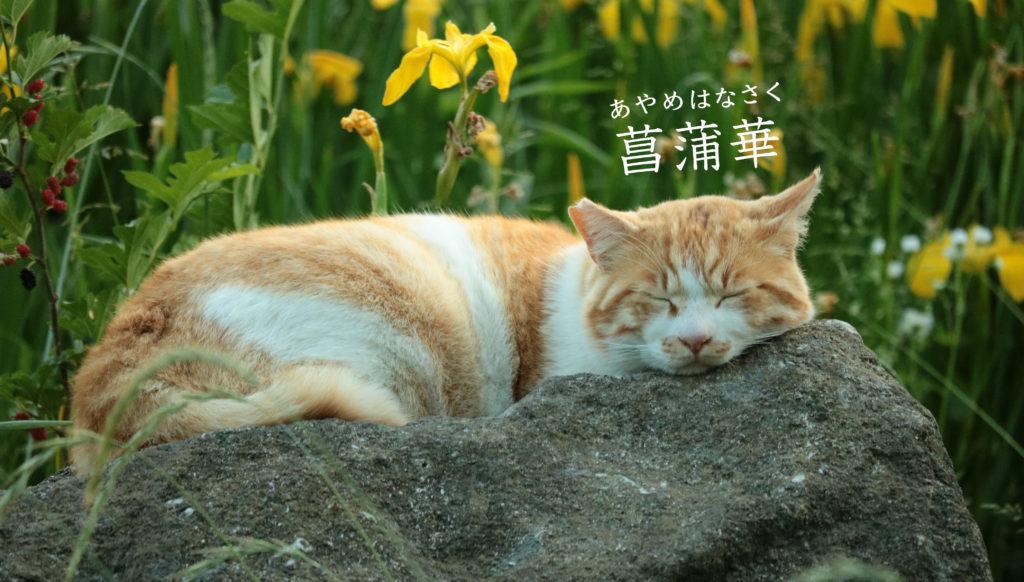菖蒲華と猫