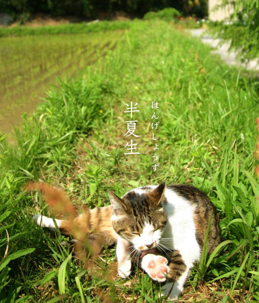 半夏生と猫