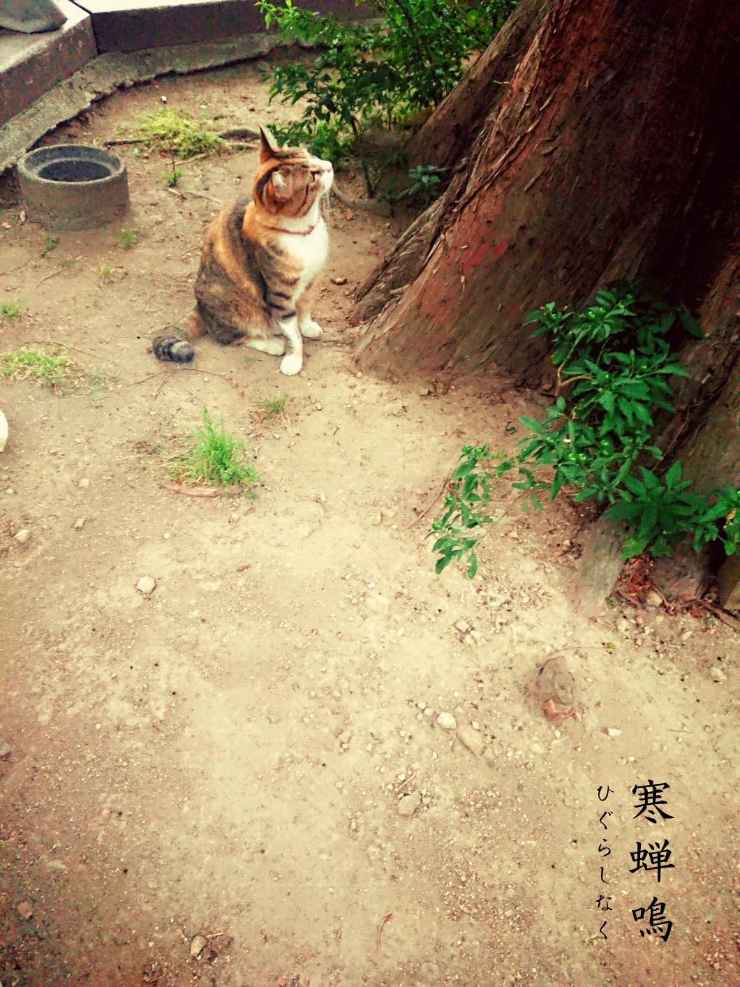 寒蝉鳴と猫