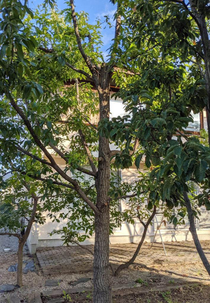 10年後のどんぐりの木