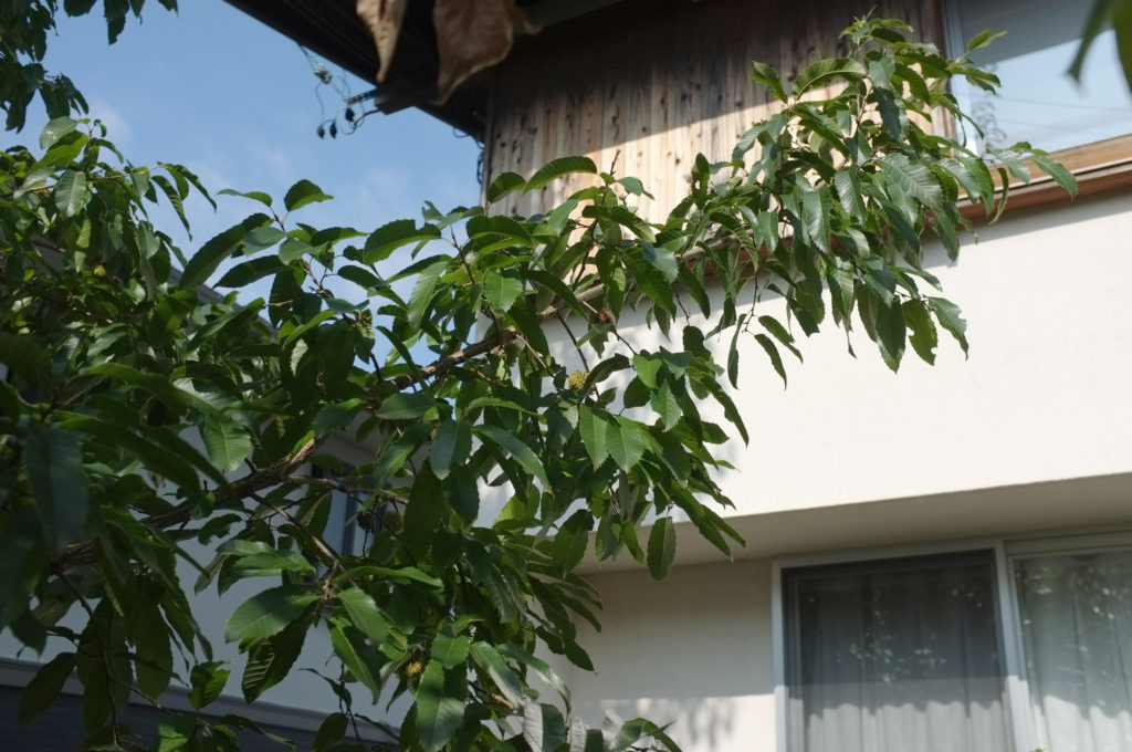 6年後のどんぐりの木