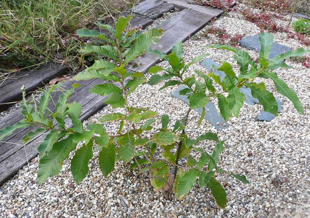 植えたクヌギの木