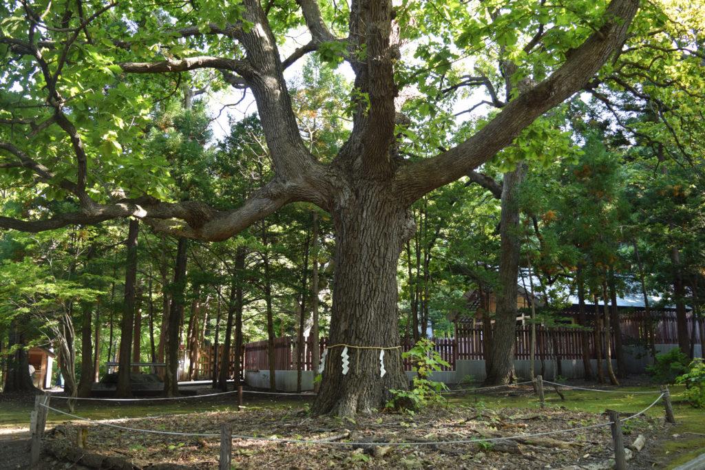 北海道神宮の御神木