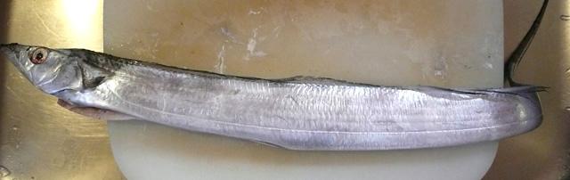 太刀魚全身