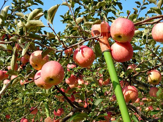 秋から冬の果物、リンゴ