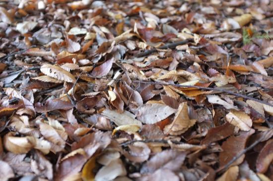 雑木林の落ち葉