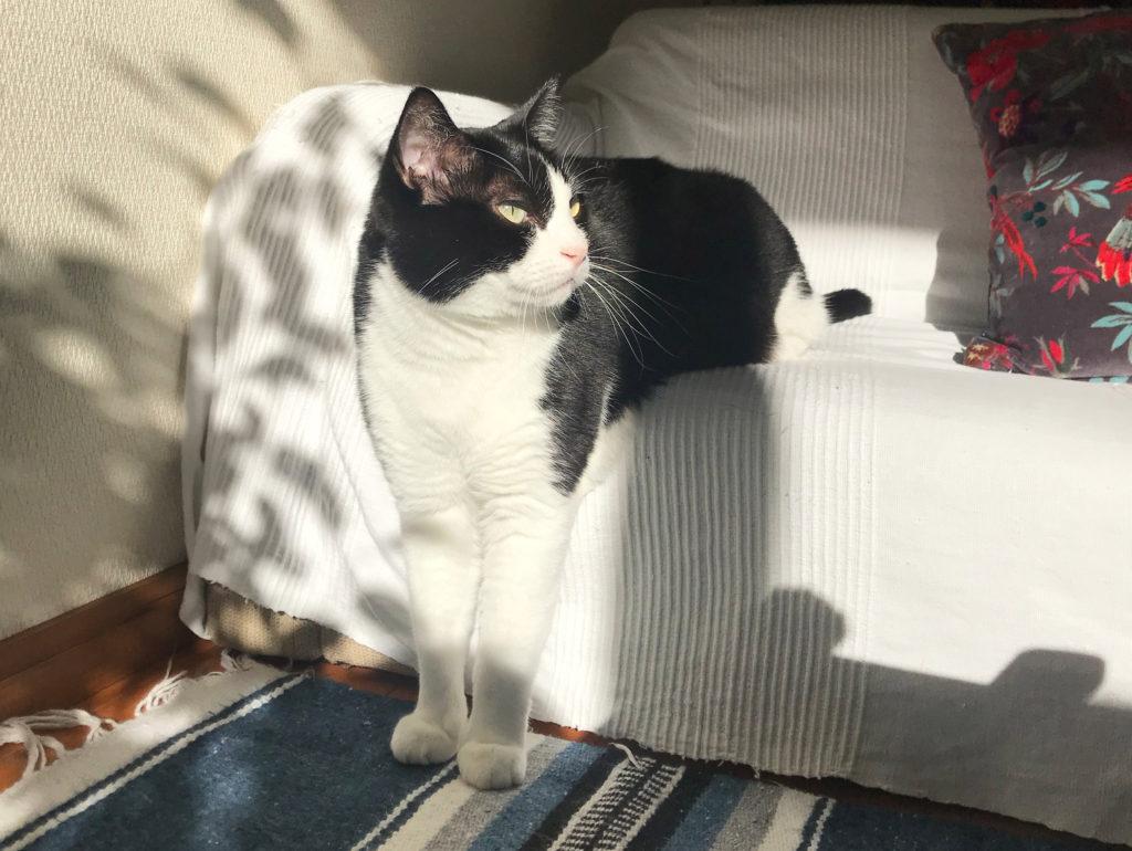 日向ぼっこするハチワレ猫