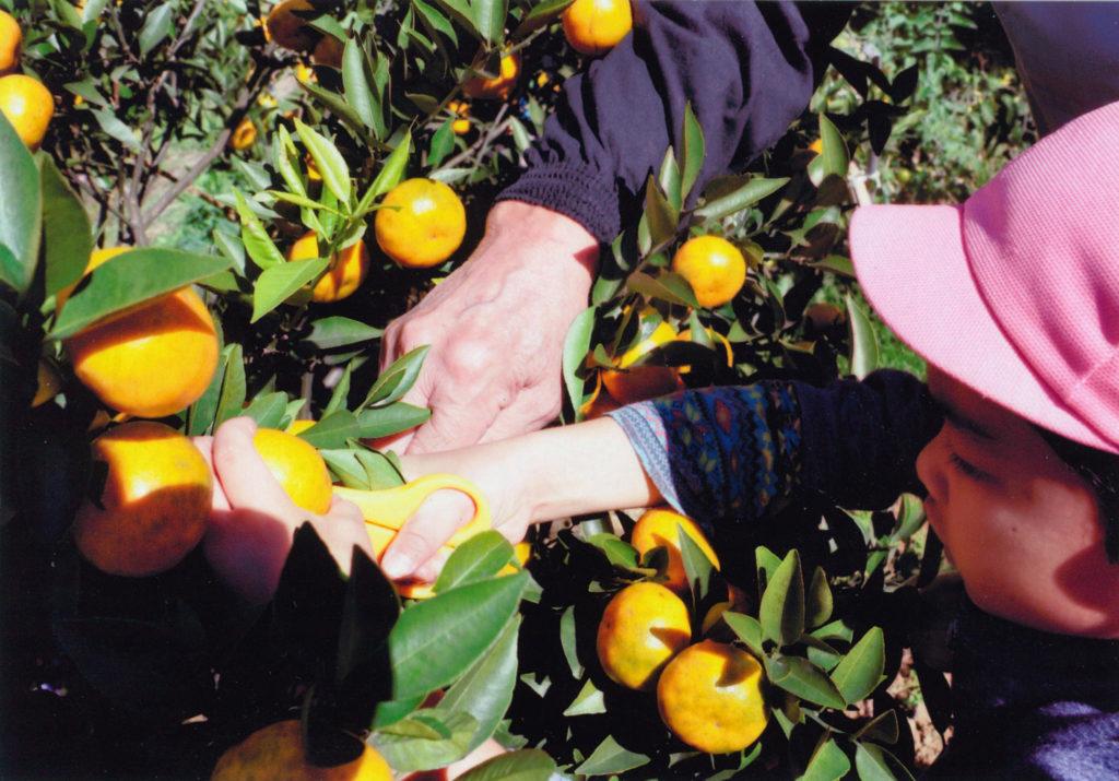みかん穫りをする子供