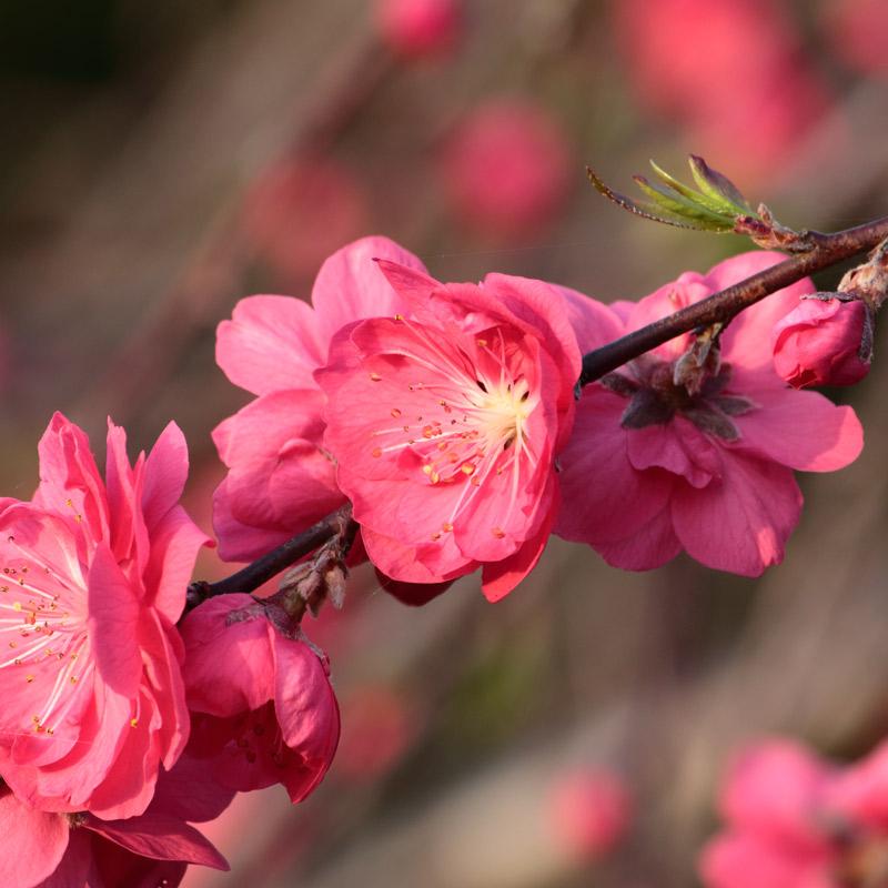 桃始笑桃の花