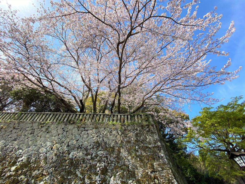 苔むした石垣に咲く桜